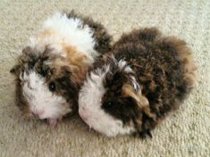 Fluffy guinea pigs.
