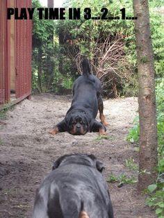 .. Rottweiler