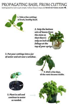 propagating basil from cuttings - 101 Gardening Vegetable Garden, Garden Plants, Herb Garden, Organic Gardening, Gardening Tips, Basil Plant, Garden Stepping Stones, Growing Herbs, Edible Garden