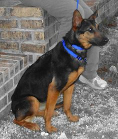 Click Here To View German Shepherd Dogs For Adoption Or Post One - Dora german shepherd