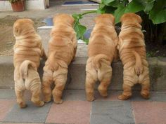 Shar Pei puppies - sweetest natured dogs ❤