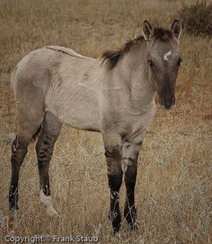 Sorraia horses are thought to be related to the original Spanish mustangs. Black Hills Wild Horse Sanctuary photo by Frank Staub.