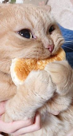 This cat and his bread - your daily dose of funny cats - cute kittens - pet memes - pets in clothes - kitty breeds - sweet animal pictures - perfect photos for cat moms Cute Baby Cats, Cute Little Animals, Cute Cats And Kittens, Cute Funny Animals, Funny Animal Pictures, Kittens Cutest, Funny Cute, Funny Pics, Funny Kitties