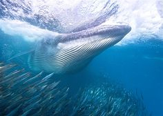 Image: Bryde's whale feeding on sardines during a sardine run off Durban, South Africa. (© Michael Aw/Getty Images)
