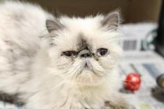 Hershel is an adoptable Persian Cat in Bloomington, IN. Color:silver/grey, Markings:lilac point-hairloss, fleas...