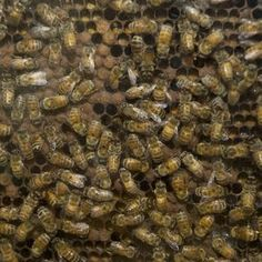 Bee buzz: Help fight colony collapse