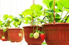 Learn how to grow strawberries in containers, raised beds, or gardens -- it's easier than you think, and you don't need a lot of space to grow your own.