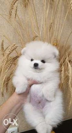 Pomeranian Dogs In Beirut Olx Online Classifieds Dear Indian Dog Owners Saint Bernards And Huskies Do Not Noon Pet Of The Week In 2020 Pomeranian Dog Pugs Funny Dogs