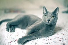"russian blue cat.  LOOKS LIKE MY ""I CHING"" LOOKED!"