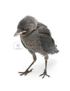 ptaka na bia ym tle kawki piskl bliska  Zdjęcie Seryjne