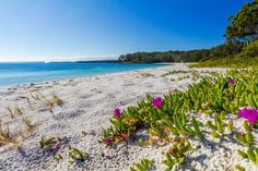 Green Patch in Jervis Bay is famous for its clear emerald water, white sand and popular camping area that is located just by the beach. The plant with the purple flower bears fruit which can be consumed. (Pho...