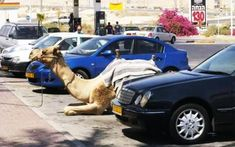 23 Things You Will Only See in Israel-  parking-your-camel