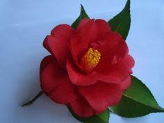 'Tom Hatley' camellia
