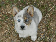 What does a Heeler-Corgi mix look like? Corgi Aussie Mix, Australian Shepherd Puppies, Corgi Mix, Cute Puppies, Cute Dogs, Dogs And Puppies, Animals And Pets, Baby Animals, Cute Animals