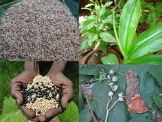 Promising Medicinal Rice Formulations for Cancer and Diabetes Complications and Revitalization of Pancreas (TH Group-127 special) from Pankaj Oudhia's Medicinal Plant Database