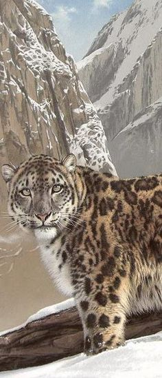 Snow Leopard - Big Cats