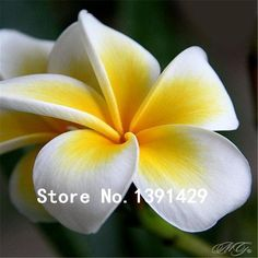 100pcs seeds Plumeria Hawaiian Foam Frangipani Flower For Wedding Party Decoration Romance