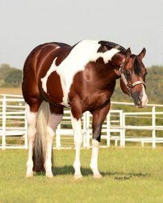 JOHN SIMON - $1250 ::::::::::::::::::::::::::::::::::::::::::::: homozygous tobiano + live color foal guarantee