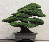Japanese white pine from the National Bonsai & Penjing Museum at the United States National Arboretum.