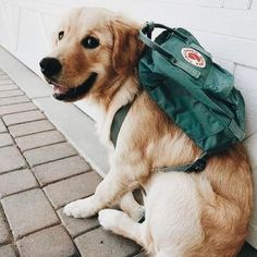Astonishing Everything You Ever Wanted to Know about Golden Retrievers Ideas. Glorious Everything You Ever Wanted to Know about Golden Retrievers Ideas. Cute Funny Animals, Cute Baby Animals, Animals And Pets, Wild Animals, Chien Golden Retriever, Golden Retrievers, Golden Retriever Puppies, Cute Dogs And Puppies, I Love Dogs