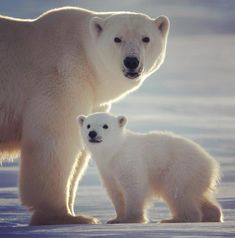 Arctic animals, nature animals, baby animals, animals and pets, cute polar Polar Animals, Nature Animals, Animals And Pets, Baby Animals, Cute Animals, Baby Giraffes, Amazing Animal Pictures, Cute Animal Photos, Teddy Bear Cartoon