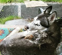 How To Hack A Chicken Killing Dog - Sled Dog Slow