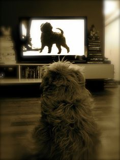 Mr Angus dreaming of fame and fortune as he watches Banana Joe win the Westminster dog show.