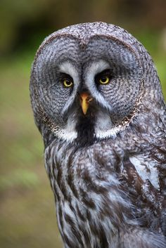 Great grey owl by generalstussner