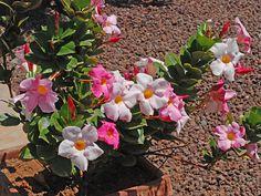 Мандевилла Сандера, или Дипладения Сандера - Mandevilla sanderi, мандевилла фото Plants, Planters, Plant, Planting