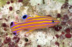 Portrait of a candy basslet (Liopropoma carmabi) with its bold markings of stripes and spots is eye catching and one of the most sought-after aquarium fish in the world.