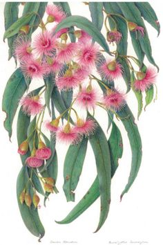 Framing Nature - 7-22 November - Department of Environment, Water and Natural Resources (DEWNR) Australian Wildflowers, Australian Flowers, Australian Plants, Australian Artists, Botanical Drawings, Botanical Prints, Botanical Illustration, Illustration Art, Botanical Flowers