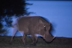 Warthogs have a burst speed of up to 55 km/hr mi/hr) over short distances, capable of evading a man on horseback or a lion. Cow, Horses, Animals, Animales, Animaux, Horse, Animal, Animais, Stuffing
