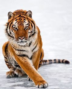 Amur Tiger   Photo by @suhaderbent #wildlives