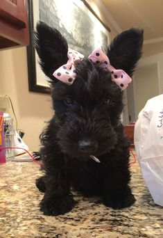Bonnie Blue (Owner Becky Haaland - Nothing but Scotties Group) Cute Puppies, Cute Dogs, Dogs And Puppies, Doggies, Fru Fru, Terrier Dogs, Baby Dogs, Westies, Beautiful Dogs