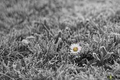 Frost auf Gänseblümchen
