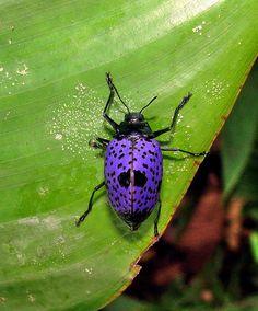 Erotylus species, Pleasing Fungus Beetle.  Order Coleoptera: Family Erotylidae.  Amazon Basin of eastern Colombia
