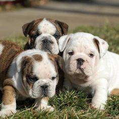 Three little English Bulldog cuties.