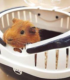 Guinea pig in a travel box -- awwwhhh -so cute!