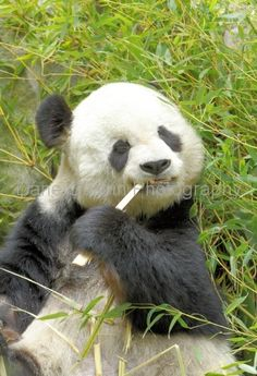 The San Diego Zoo is famous for the pandas you can observe. #sandiego #visit #vacation
