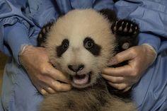 Panda bear tickle. So sweet!!