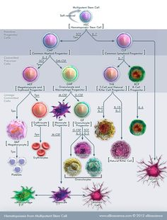 hematopoiesis-from-multipotent-stem-cell.jpg (780×1030)