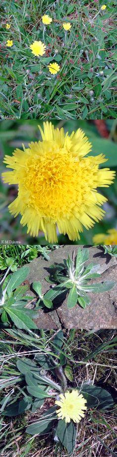 Muizenoor - Hieracium pilosella