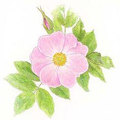 wild rose drawing   Alberta Provincial Flower: Wild Rose - Picture - MSN Encarta