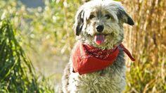 Collar antipulgas natural para perros