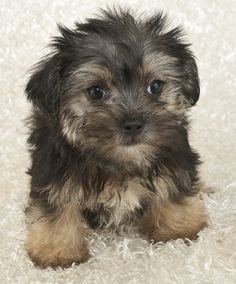 Morkie for sale near Cleveland, Ohio