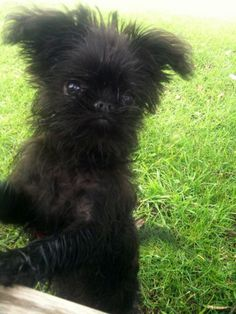 George as a puppy. Brussels Griffon. This dogs name is George?? Cute!