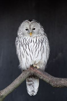 Ural owl by George Reclos on 500px