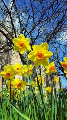 Daffodils in Chesterfield, Derbyshire, England. Photo by Claire Justine. Exotic Flowers, Tropical Flowers, Purple Flowers, Spring Flowers, Beautiful Flowers, Daffodil Bulbs, Daffodil Flower, My Flower, Daffodils