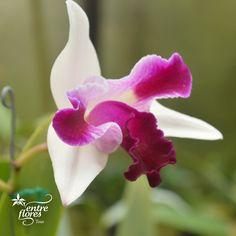 Esta hermosa orquídea tiene le nombre de LC Mem Robert Strait x Hwa Yuan Beauty y pertenece al genero Cattleya, el cual posee entre 50 y 70 especies endémicas de América Central y Suramérica. Ven a conocerla a Entre Flores Tour.