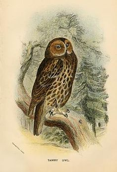 1000 images about owl illustrations